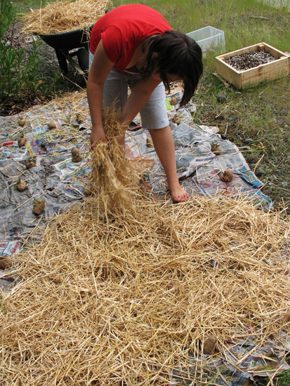 Covering potatoes with straw