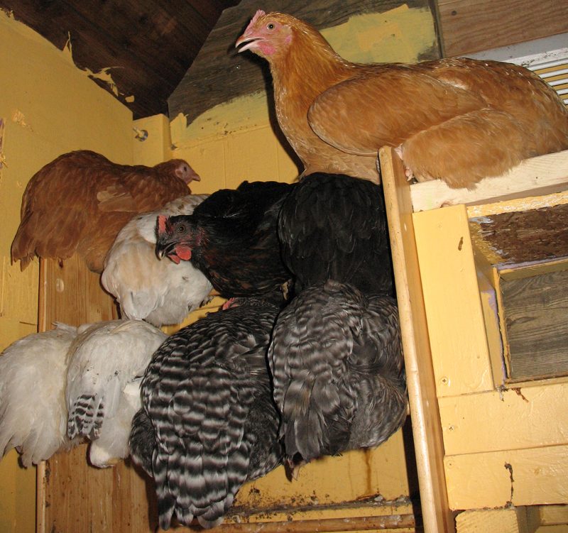 Chickens on roost