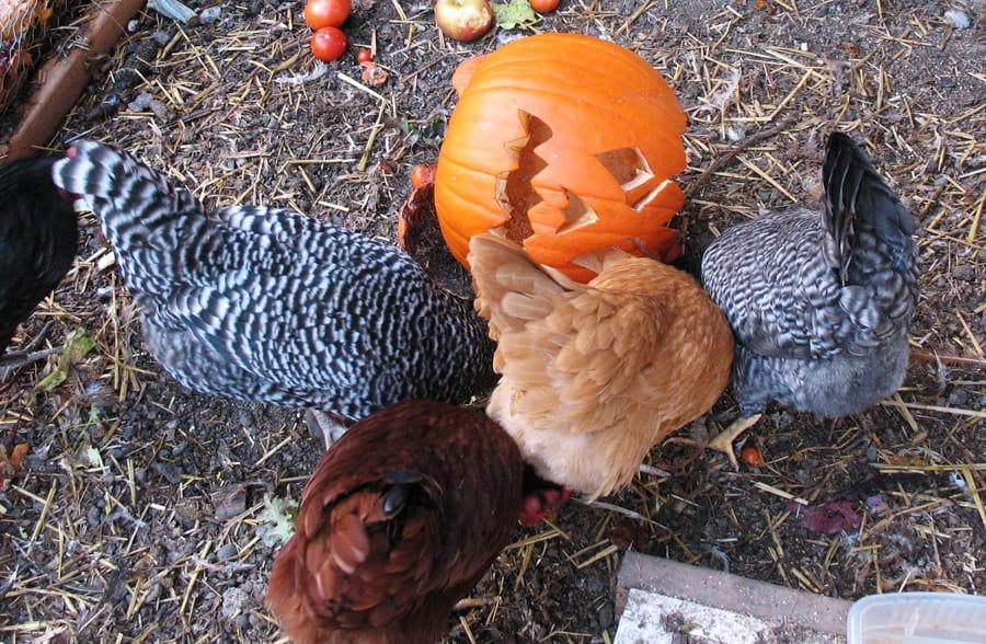 Chickens Feast on Jack-o-Lantern