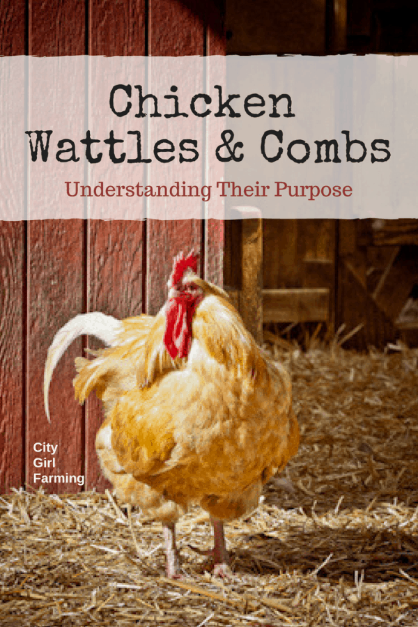 Chicken Wattles and Combs 101