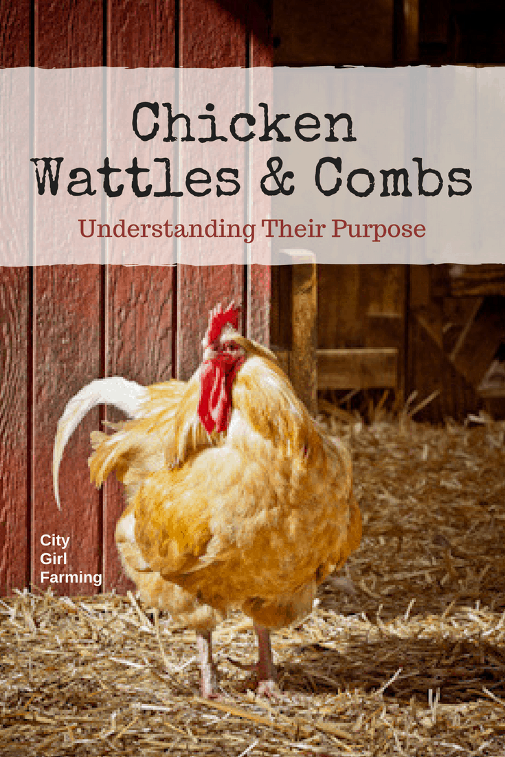 Why do chickens have wattles and combs? What is the purpose? Find out here.