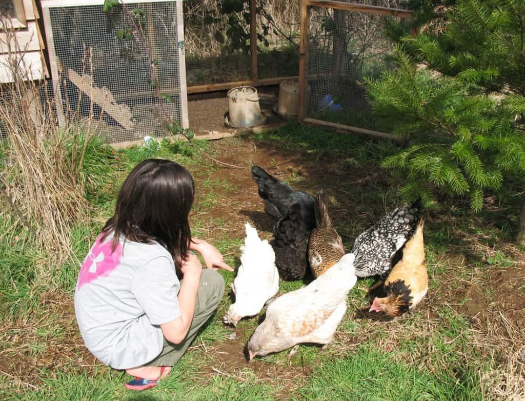 jennie-chickens