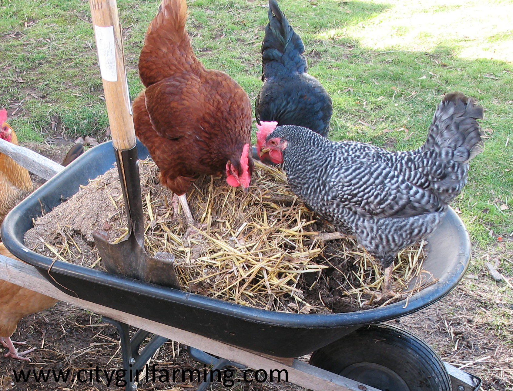 chicken-dirt-wheelbarrow
