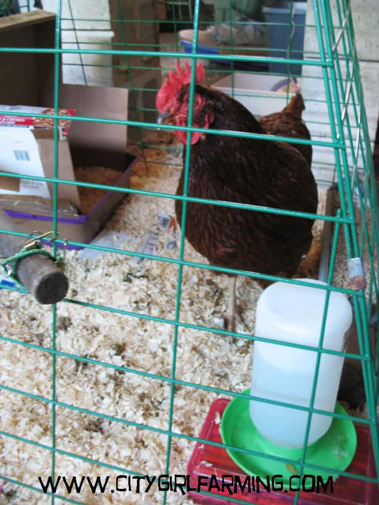 When Chickens Don't Play Nice (Or What to Do When You Have a Bully)