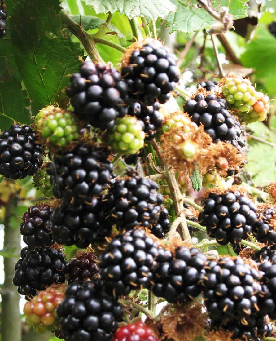 Super Easy Blackberry And Chia Jam City Girl Farming