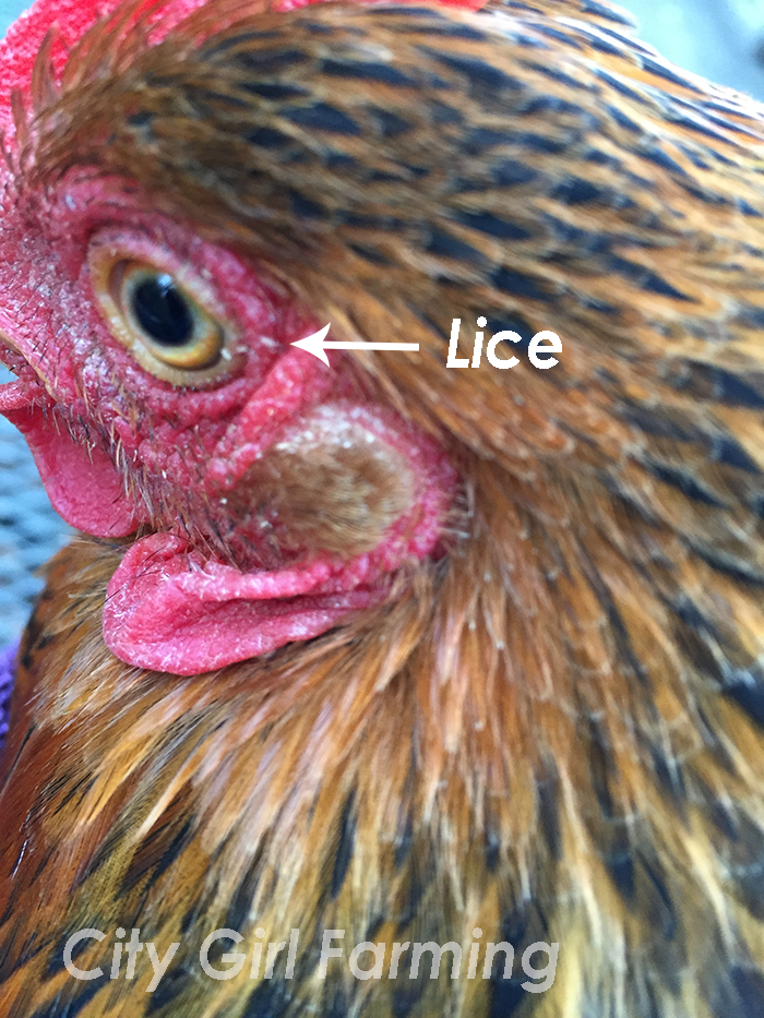 Do you know how to tell if your chickens have lice? Do you know what to do? Here's a simple, non-toxic solution.