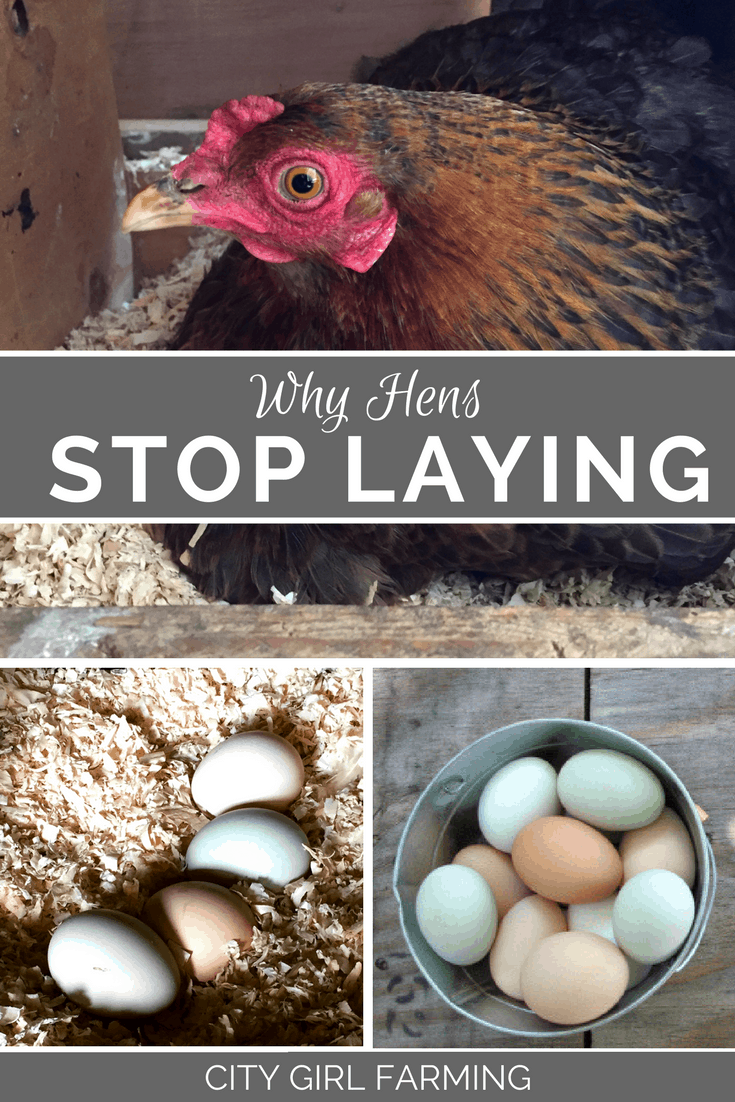 Hens are  great at laying eggs. Except when they're not. Here's 12 reasons they might stop laying eggs so you can problem solve how to help them.