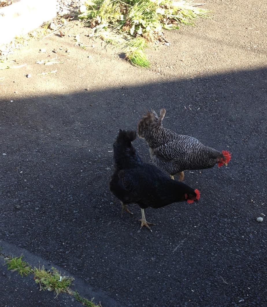 chickens in the garden city farming