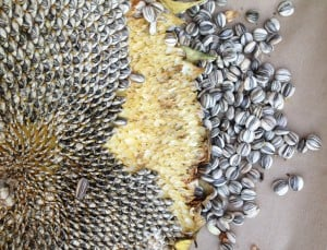 Roasting Sunflower  Seeds: A Tale of Trial and Error