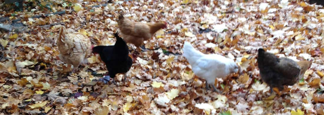 ChickenLeaves