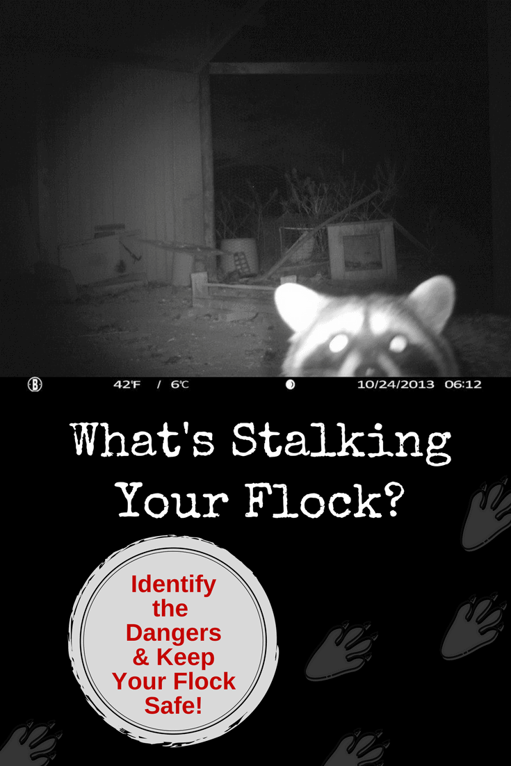 What's stalking your flock? Probably more than you realize! There are so many dangers lurking out there day and night from animals that would like to make a tasty meal out of your chickens. Here's some ways to identify the dangers and protect your flock.
