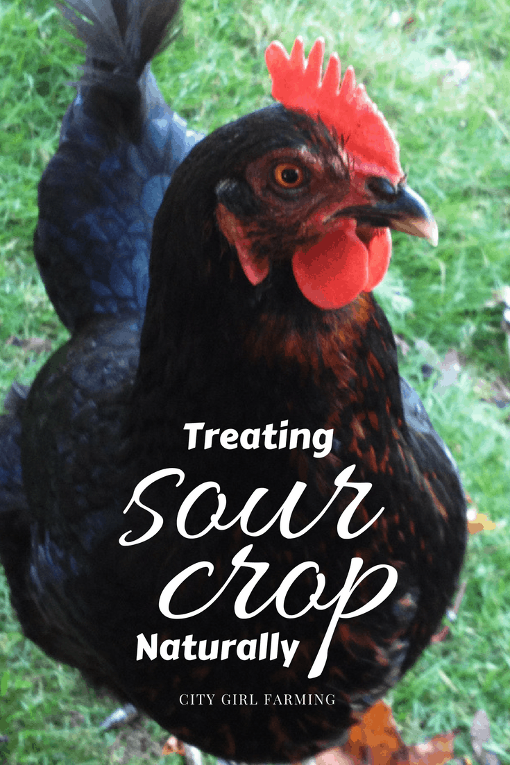 Sour crop can be fatal for a hen, but the good news is that there are natural ways to treat it that are very effective!