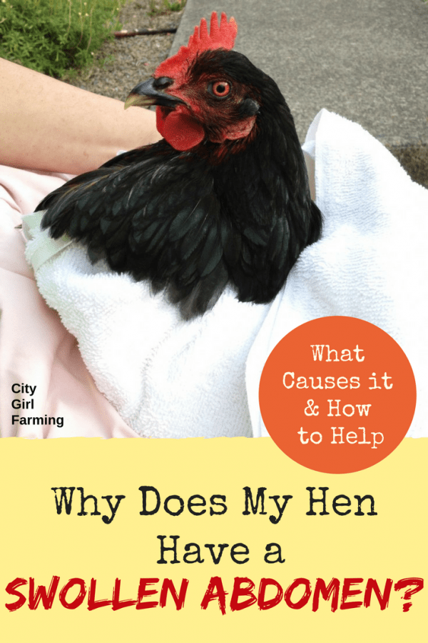 What do you do when you have a chicken with a very swollen abdomen? Here's how you can help.