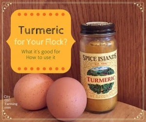 Turmeric for Your Hens?