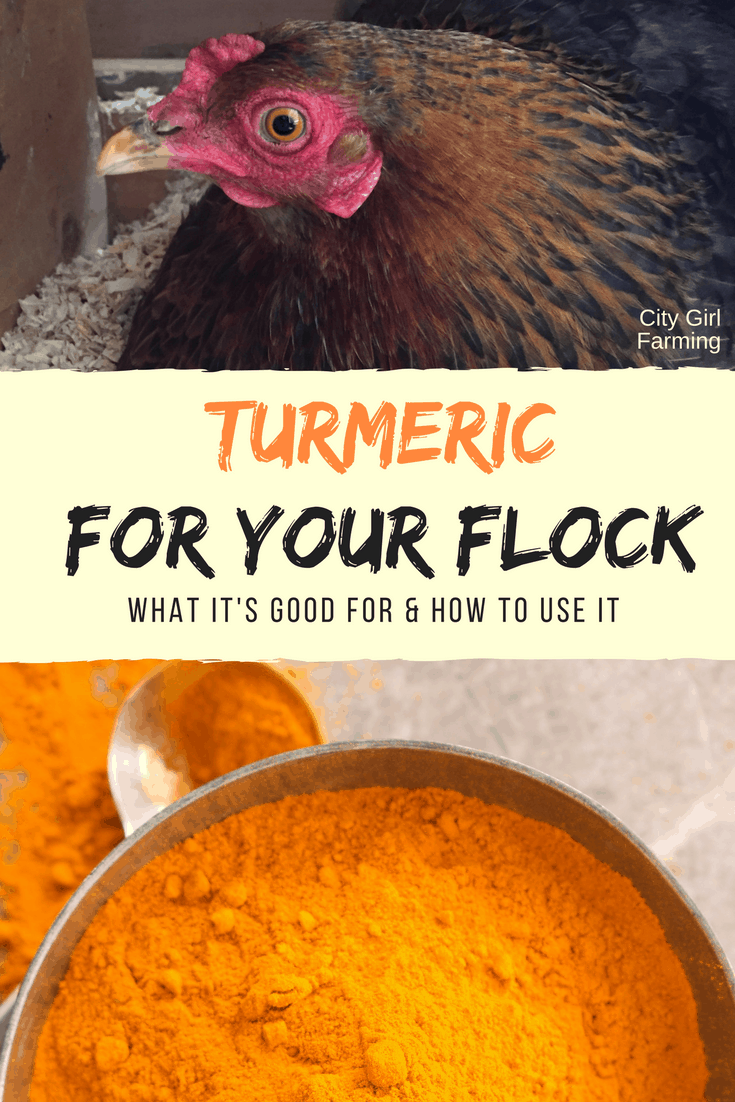 There are some amazing benefits in using turmeric with your chickens. Here's how to use it and why it's good for them.