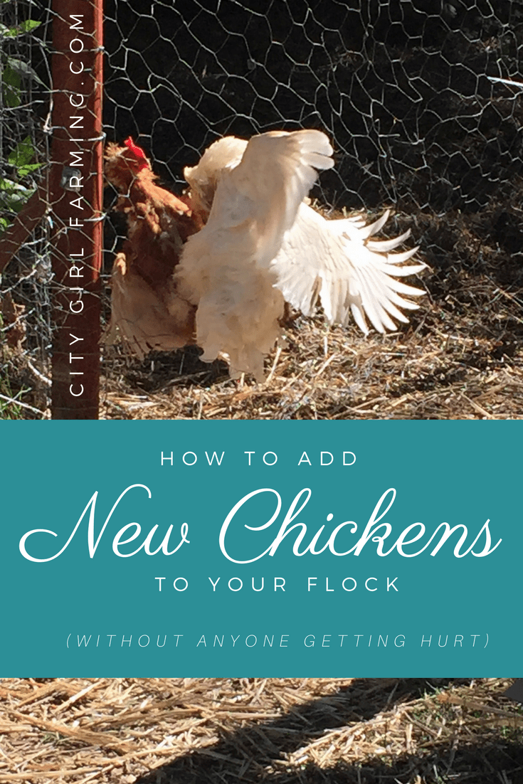 Add-new-chickens-to-flock