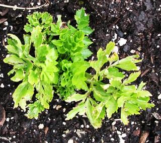 CeleryPlanted