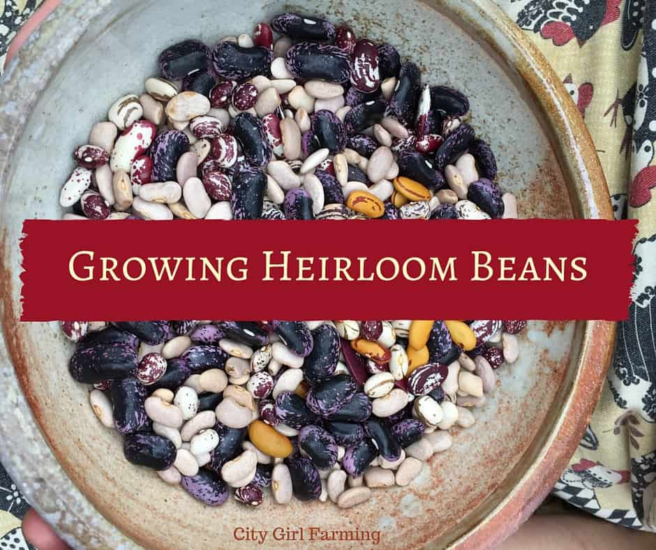 Growing Heirloom Beans