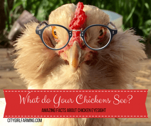 What Do Your Chickens See?