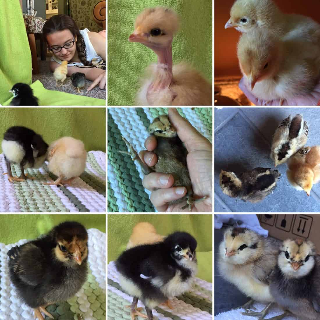 baby-chick-collage