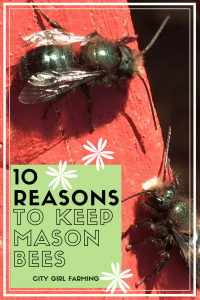 Why Cultivate Mason Bees?