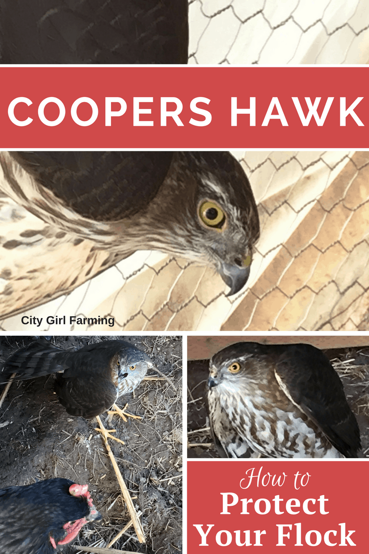 How to Protect Your Flock from Cooper's Hawks