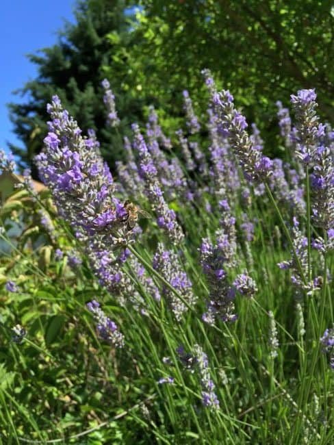 Do you want to help the bees? Plant a bee-friendly garden! This gives the bees something to live on as their populations decline. Our bees are in trouble and we need them. Here's 30+ flowers and plants to help them out.