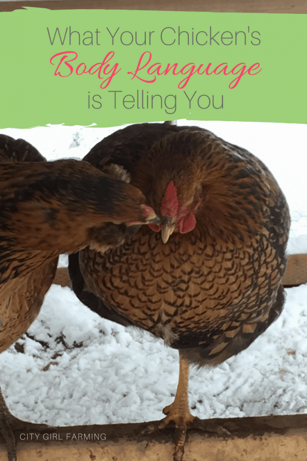 What Your  Chicken's Body Language is Telling You