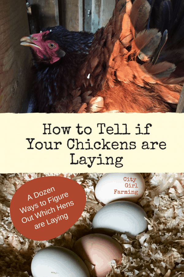 How to Tell if Your Chickens are Laying
