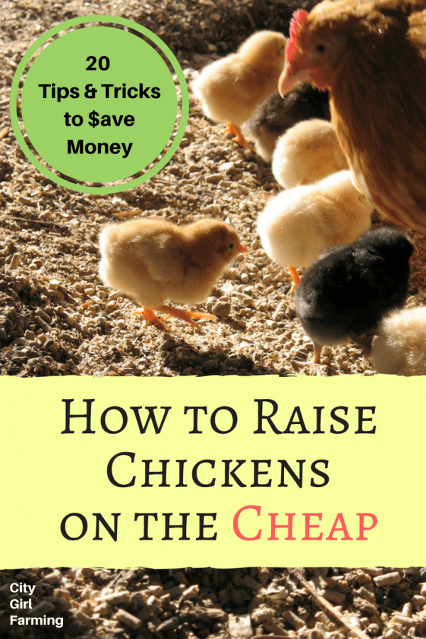 How to Raise Chickens without Breaking the Bank
