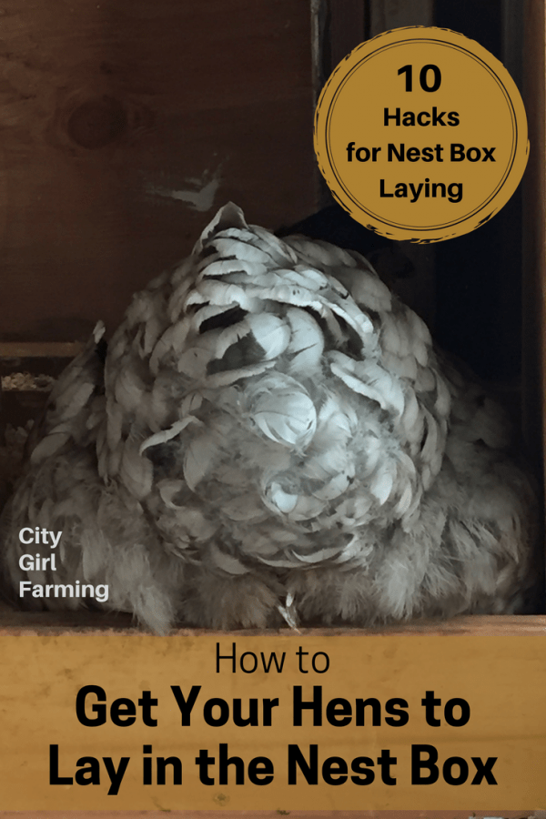 You're not alone if you have problems figuring out how to get your hens to use the nest box. Sometimes those girls just have a mind of their own (especially if they free range and can lay eggs anywhere). The good news is, there are ways to help ensure all those beautiful fresh eggs are laid in the right spot. Here are 10 tips to help you (and your hens) get those eggs into the nest box where they belong.