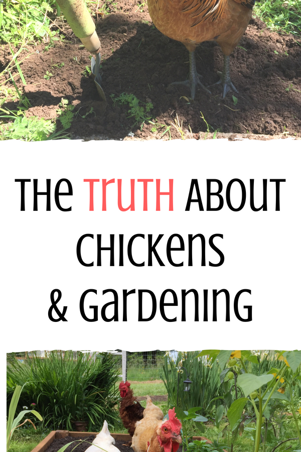 The truth about how to garden with chickens is that it's a bit tricky. While chickens in the garden offer some benefits, there's also some not so great things about it too. Here we'll uncover the best practices to get the most out of gardening with your chickens to make it a win for everyone.